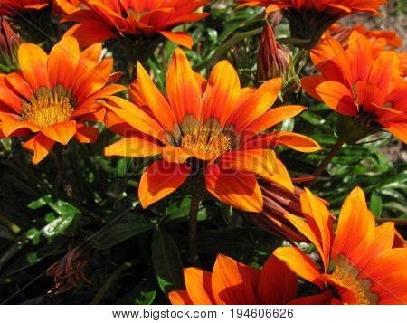 Gazania with orange flowers in autumn in garden