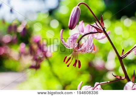 Close up photo of Lilium martagon or Turk's cap lily