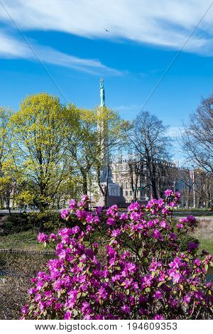 Milda - monument of Freedom in blooming rhododendron bush. Riga, Latvia.