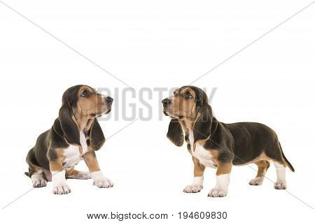 Two french basset puppy dogs both looking up isolated on a white background