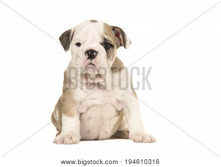 Brown and white english bulldog puppy sitting and looking at the camera isolated on a white background
