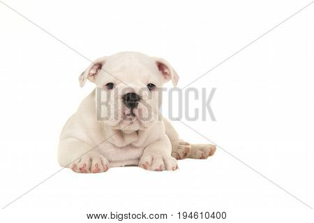 Cute white english bulldog puppy lying down seen from the front looking at the camera isolated on a white background