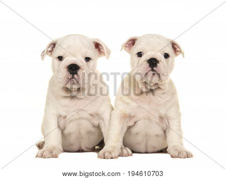Two cute white english bulldog puppy dogs sitting together and looking at the camera isolated on a white background