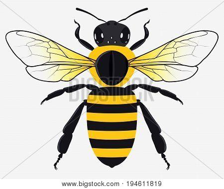 Detailed Honey Bee Vector Illustration