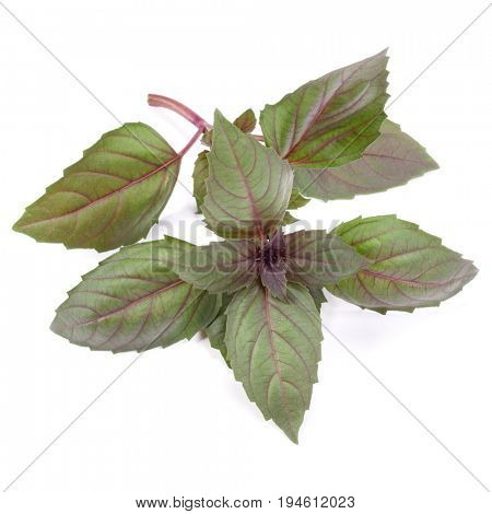 Red basil herb leaves isolated on white background. Dark opal basil leaf.