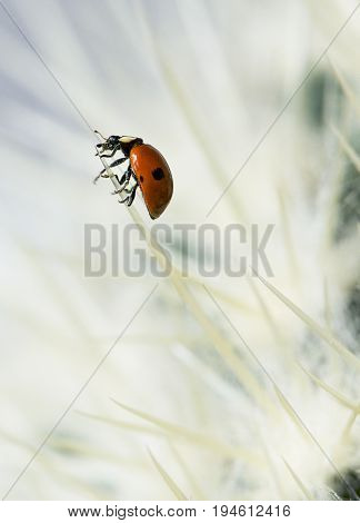 Red ladybird in bright background. Lady bird on a cactus. Bug. Ladybird going up