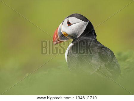 Portrait of a puffin bird between soft green grass