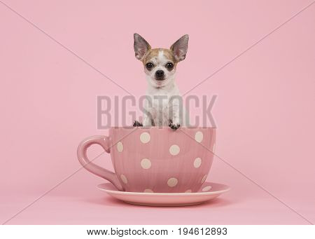 White and brown adult chihuahua dog sitting in a pink and white dotted cup and saucer on a pink background