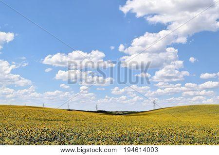 Huge sunflower farmland in Europe during summertime