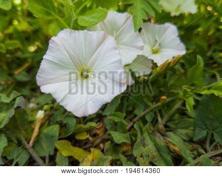 Flowers Of White Petunias