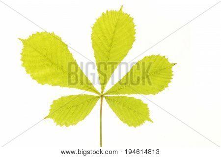 Fresh soft green chesnut leaf isolated on a white background