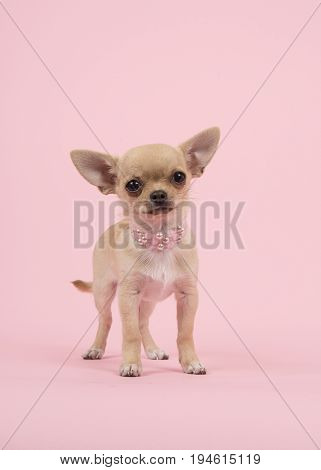 Cute chihuahua puppy dog wearing a pearl necklace standing on a pink background