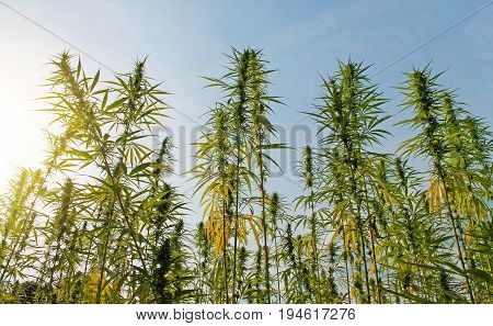 Cannabis plant with buds grow in field.