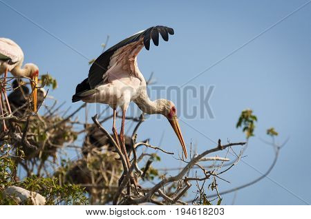 Yellow-billed stork in a tree branch along the Chobe River in the Chobe National Park Botswana; Concept for travel in Africa and Safari