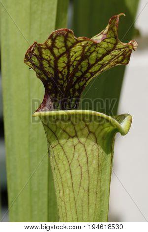 A Carnivorus Plant- Sarracenia
