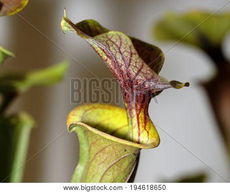 A Carnivorus Plant - Sarracenia Rubricorpora
