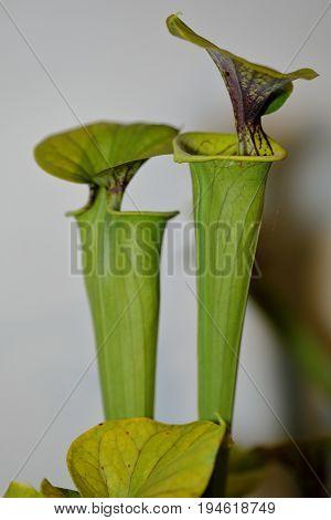A Carnivorus Plant - Sarracenia Flava Cuprea