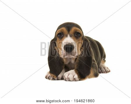 Cute basset artesien normand puppy lying on the floor isolated on a white background