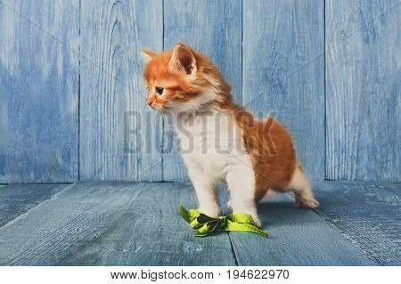 Cute ginger kitten plays with green ribbon at blue wood background with copy space. Long haired red orange small cat with white chest.