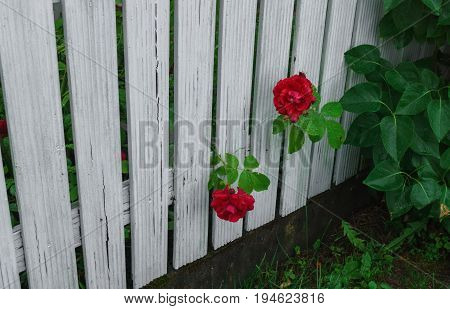 beautiful red roses that tend to the sun through the fence.