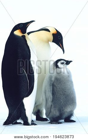 Antarctica, Weddel Sea, Atka Bay, Emperor Penguin Family