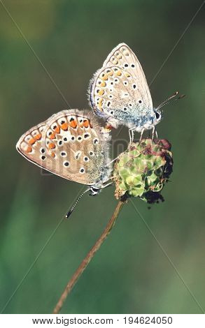 Couple of Gossamer-Winged butterflies on flower, side view