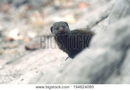 Dwarf Mongoose (Helogale parvula), selective focus