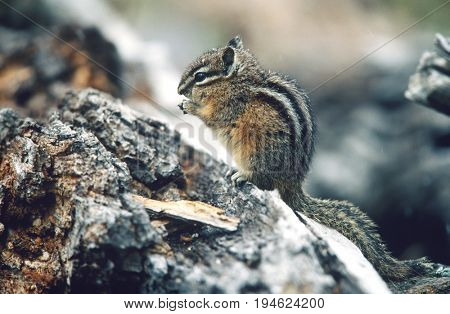 Chipmunk standing on hind legs on rock, side view