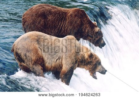 USA, Alaska, Katmai National Park, two Brown Bears standing in river above waterfall