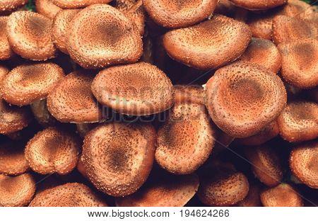 Close-up of Honey fungus