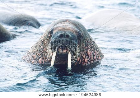 Norway, Spitsbergen, Walruse in water, close up