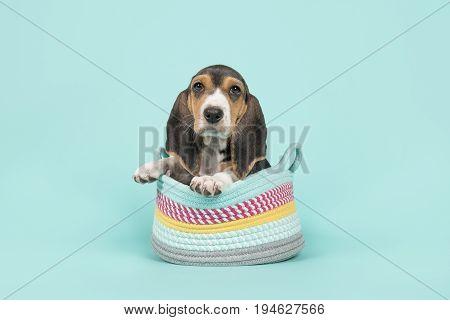 Cute basset puppy sitting in a woolen basket on a blue background