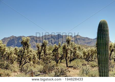 A forest of jumping cactus with a Saguaro cactus in the foreground.