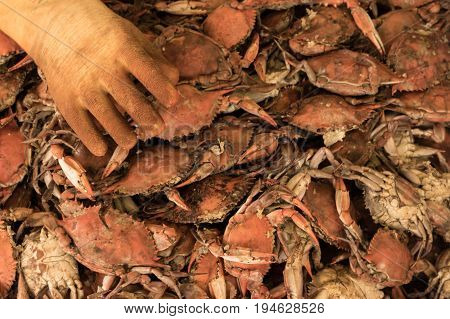 Maryland Style Blue Crabs in a seafood market. Chesapeake Bay Maryland
