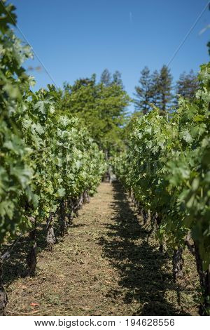 Grapevines in a vineyard in Napa Valley California