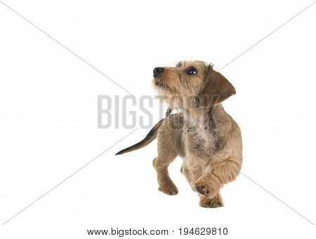 Young wirehaired dachshund walking around looking up isolated on a white background
