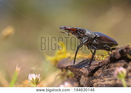 Stag Beetle (lucanus Cervus) Walking On A Log On The Forest Floor