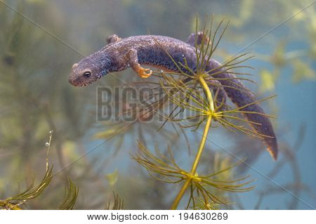 Submersed Male Alpine Newt