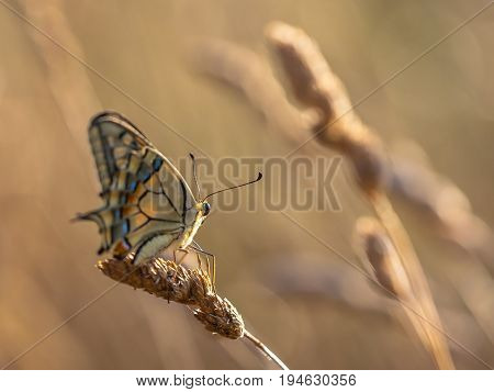 Swallowtail (papilio Machaon) Resting On Grass Ear In The Morning Light