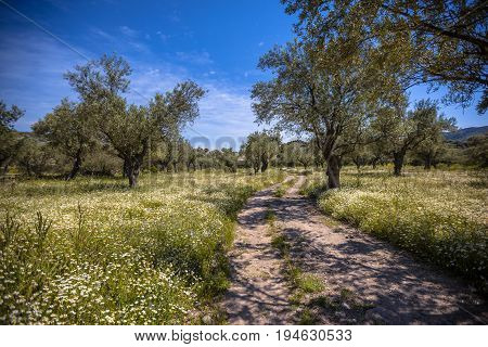 Track Through Olive Grove