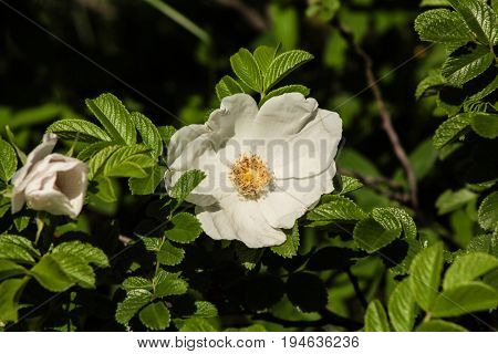 wild Briar flower close among green leaves
