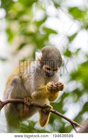 View at the single Squirrel monkey outdoor