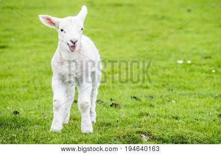Cute little lamb dwelling in the green beautiful Scottish fields