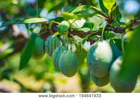Blue plum fruit, amazing healthy food from the nature. Plums belong to the Prunus genus of plants and are relatives of the peach, nectarine and almond. They are all considered