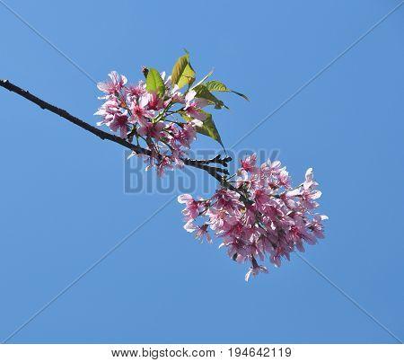 Cherry Blossom Under Blue Sky At Sunny Day