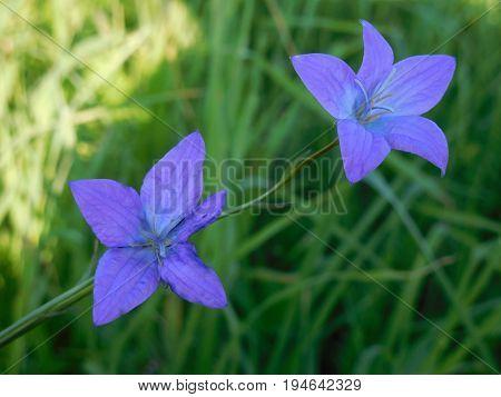 Колокольчик полевой цветок-исключительно травянистые растения из семейства Колокольчиковые