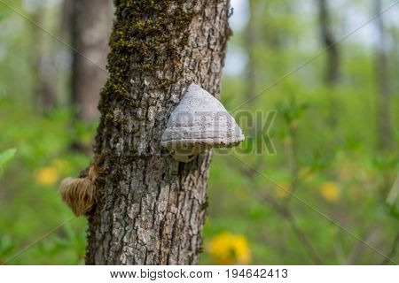 The Tinder Fungus (fomes Fomentarius) On Mossy Oak.