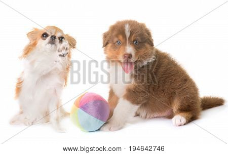 australian shepherd dog and chihuahua in front of white background