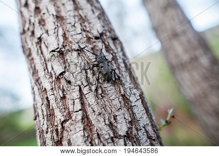 Detail shot of a Weaver Beetle on a tree.