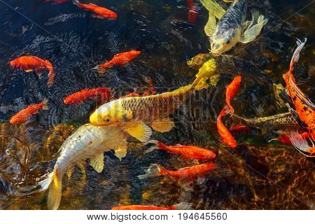 The goldfish floats in an artificial pond Colorful decorative fish